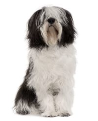 Polish Lowland Sheepdog - Breeders