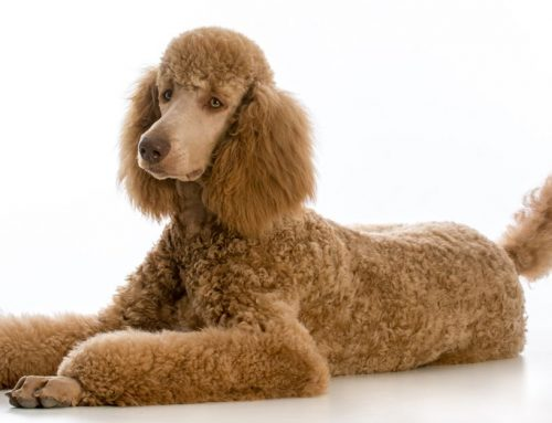 Poodle (Standard) – Breeders, Puppies and Breed Information
