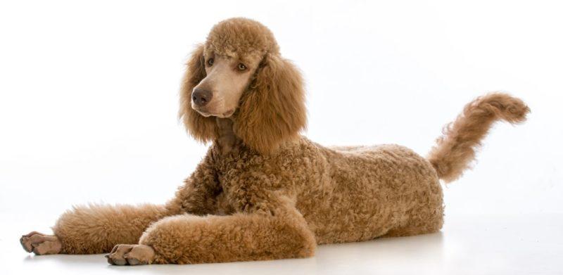 Poodle (Standard) - Breeders