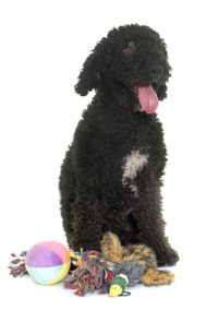 Portuguese Water Dog - Breeders