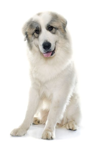 Pyrenean Mountain Dog - Great Pyrenees - Breeders