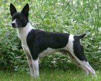 English Bulldog / British Bulldog - Breeders