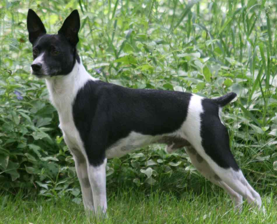 Rat Terrier – Breeders, Puppies and Breed Information