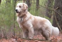 Golden Retriever - Breeders