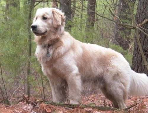 Golden Retriever – Breeders, Puppies and Breed Information