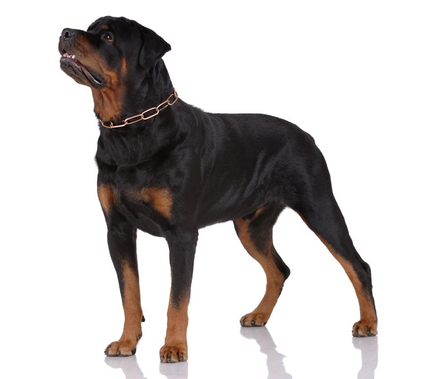 Rottweiler – Breeders, Puppies and Breed Information