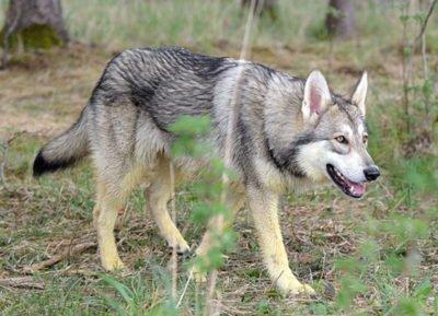 Saarloos wolfhond - Breeders