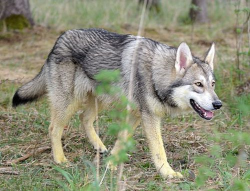 Saarloos wolfhond – Breeders, Puppies and Breed Information
