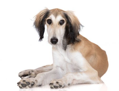 Saluki – Breeders, Puppies and Breed Information