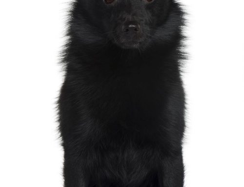 Schipperke Dog – Breeders, Puppies and Breed Information