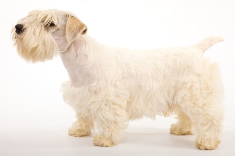 Sealyham Terrier - Breeders