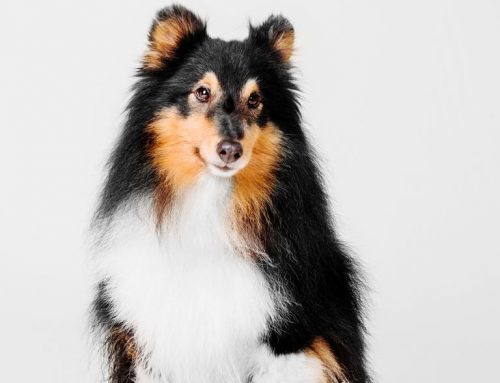 Shetland Sheepdog – Breeders, Puppies and Breed Information