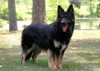 Shiloh Shepherd - Breeders