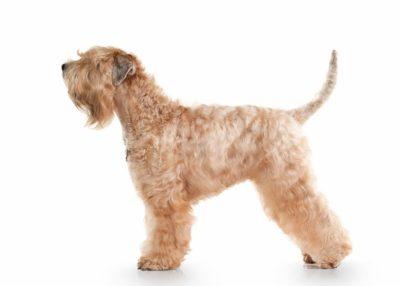 Soft-Coated Wheaten Terrier - Breeders