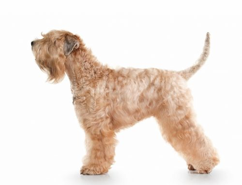 Soft-Coated Wheaten Terrier – Breeders, Puppies and Breed Information