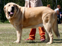 Spanish Mastiff - Breeders