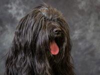 Tibetan Terrier - Breeders
