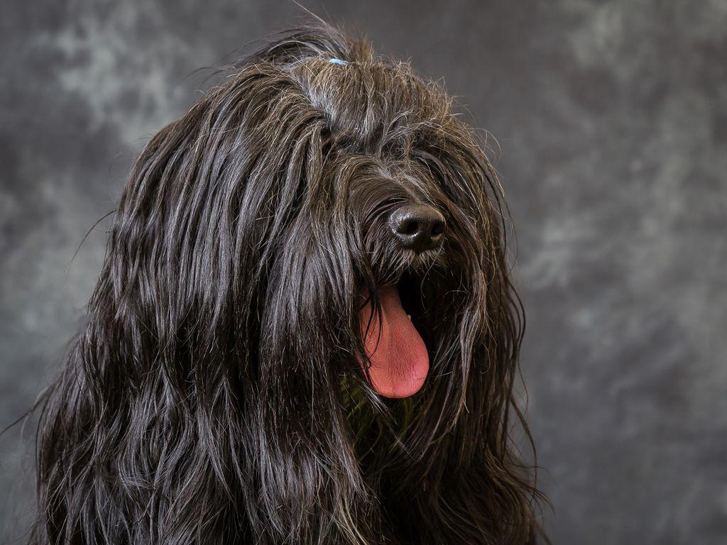 Tibetan Terrier – Breeders, Puppies and Breed Information