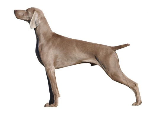 Weimaraner – Breeders, Puppies and Breed Information