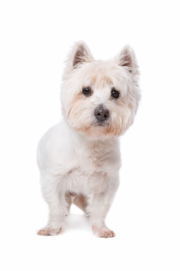 West Highland White Terrier – Westies – Breeders, Puppies and Breed Information