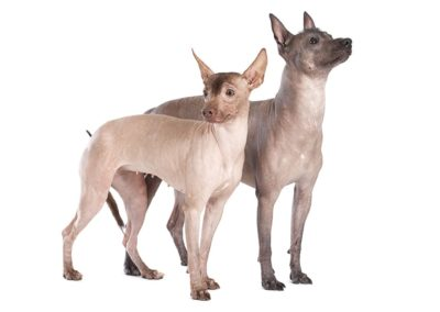 Mexican Hairless - Breeders