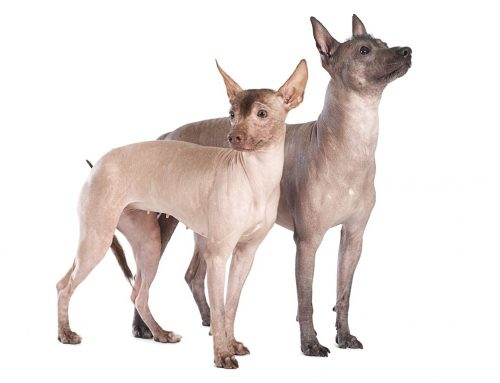 Mexican Hairless – Breeders, Puppies and Breed Information