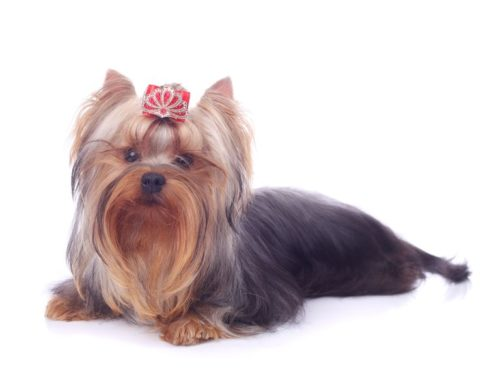 Yorkshire Terrier – Breeders, Puppies and Breed Information