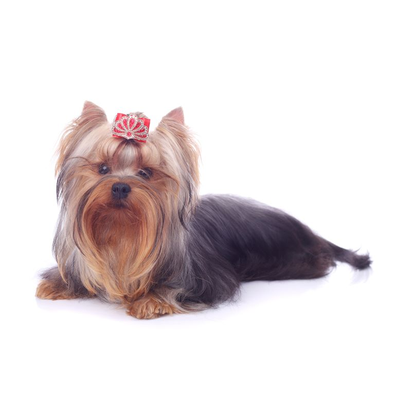 Yorkshire Terrier - Breeders